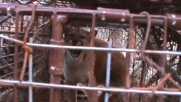 Surpriza uriașă din capcană. A vrut să prindă o vulpe, dar... (VIDEO)