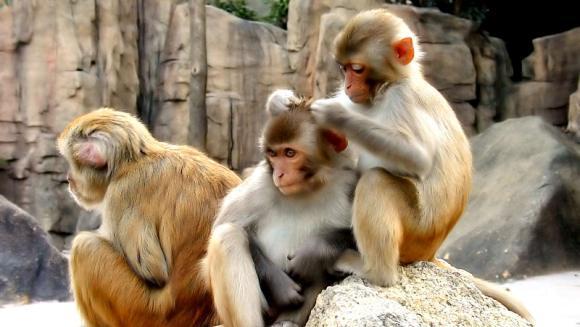Curiozități maimuțe – cele mai ciudate lucruri despre maimuțe
