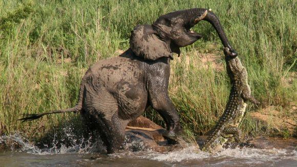 Imagini violente: elefant mușcat de trompă de un crocodil. Cine a ieșit învingător? - Foto