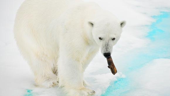 Curiozități urși polari – cele mai ciudate lucruri despre urșii polari