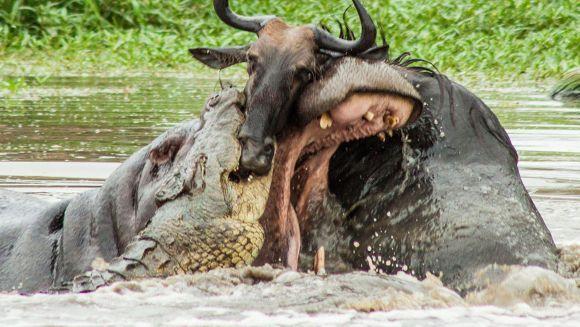 Fotografii incredibile: în lupta dintre un crocodil și o antilopă intervine un hipopotam - Galerie Foto
