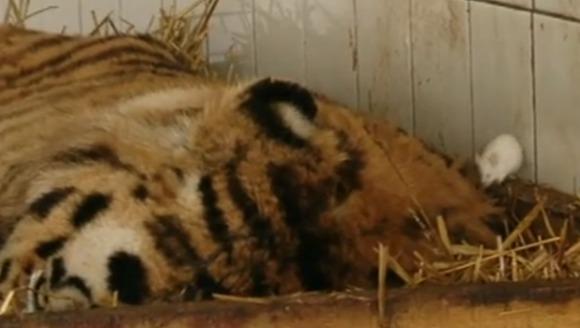 Un tigru de la Zoo Galați a scăpat de depresie cu ajutorul a doi şoricei care i-au devenit prieteni