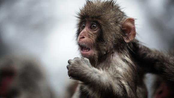 4 asemănări uimitoare între oameni și maimuțe