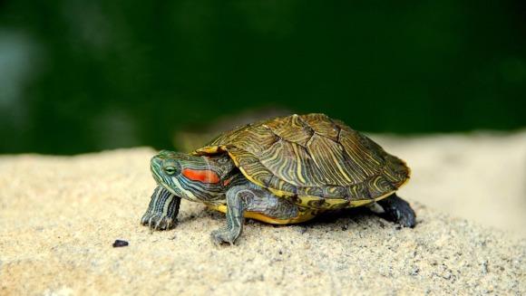 Mituri despre țestoasele de companie