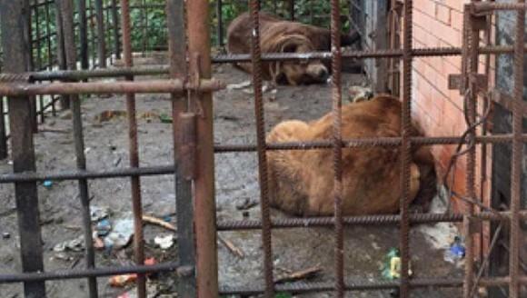 Urși din Rusia, trimiși la dezalcoolizare în România - VIDEO