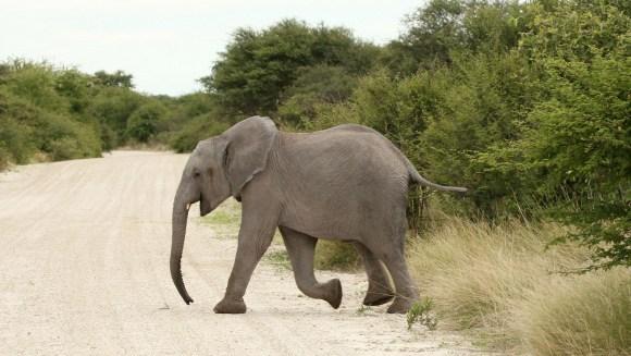 Cei mai buni detectivi: elefanţii din Africa de Sud, antrenaţi de Armata americană să găsească explozibili