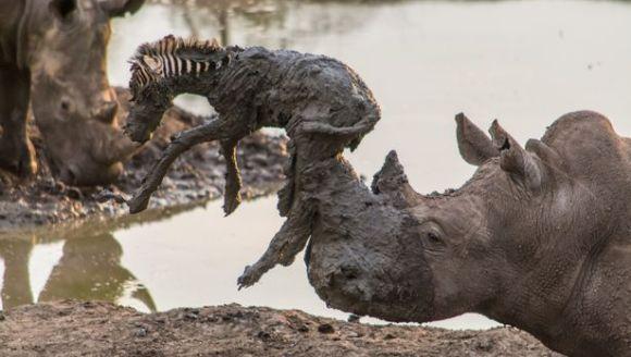 Imagini incredible: un rinocer salvează un pui de zebră, înțepenit în noroi - Galerie Foto