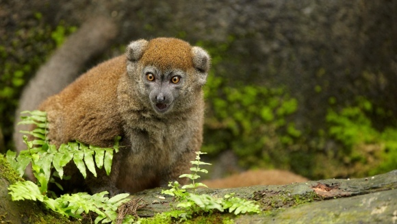 Lemurienii, pe cale de dispariţie în câţiva ani, din cauza oamenilor