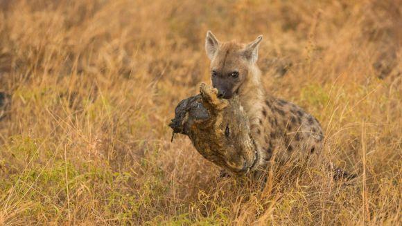 Triumf asupra regelui junglei: o hienă face paradă cu noul său trofeu – un leu decapitat - Galerie Foto