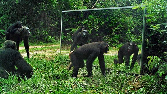 Experiment inedit: cum reacţionează gorilele şi leoparzii, când se privesc în oglindă - VIDEO