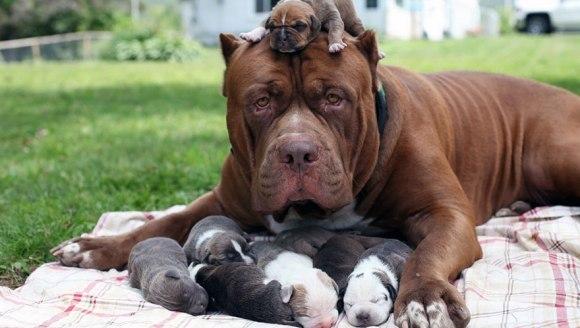 Cel mai mare pitbull din lume e tată! Cât valorează puii lui - Galerie Foto