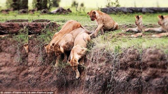 Gestul incredibil pe care l-a făcut o leoaică, pentru a-și salva puiul – Galerie Foto
