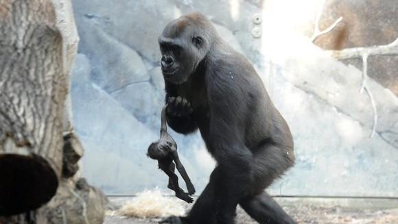 Emoționant: Ce face această maimuță, cu puiuțul ei decedat... - Galerie foto