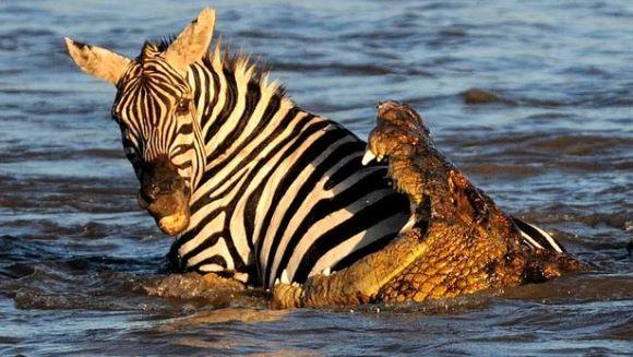 Pui de zebră, sfârtecaţi de reptilele - Galerie Foto