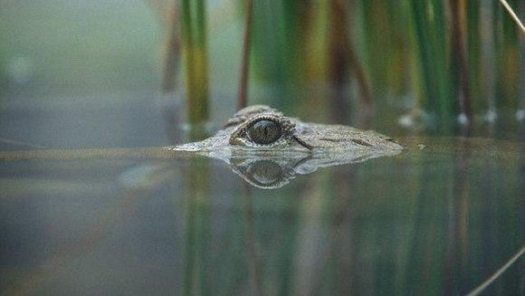 Descoperire: Crocodilii pot dormi cu un ochi deschis, dacă în preajmă sunt oameni