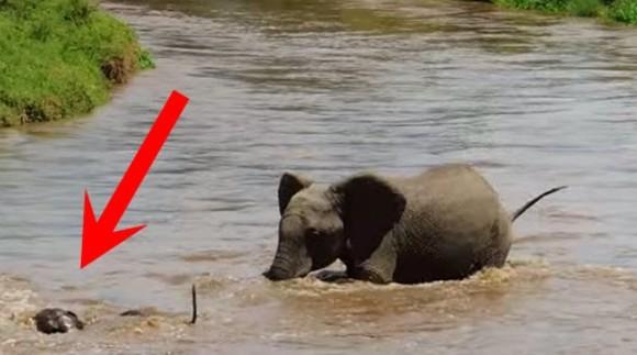 Au vrut să treacă un râu, dar pe puiul lor l-a luat apa. Au reușit să îl saveze sau nu? VIDEO
