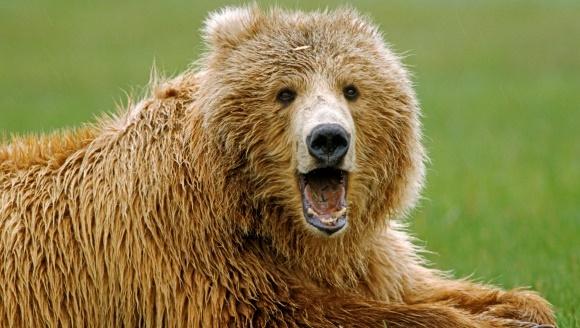 Un celebru alpinist scoţian a supravieţuit unui atac al ursului grizzly