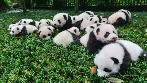 Studiile au demonstrat: urșii panda trebuie să fie îndrăgostiți, ca să se poată reproduce