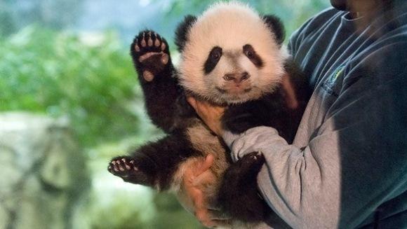Adorabil! Bei Bei, un pui de panda gigant, botezat de prima doamnă a SUA, este vedeta unei grădini zoologice