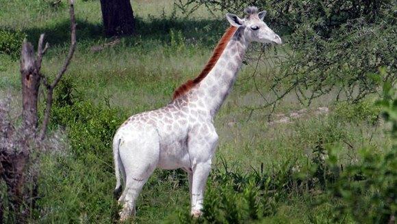 O ciudăţenie a naturii: a fost descoperită o girafă albă. Unde trăieşte ea - Galerie Foto