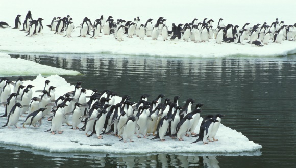 150000 de pinguini au pierit, din cauza unui iceberg