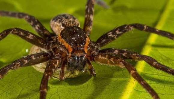 Caz nemaiîntâlnit în natură, în lumea păianjenilor