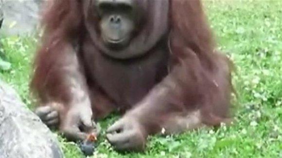 Gestul incredibil al unui urangutan, când vede că un pui de pasăre e gata să se înece – VIDEO