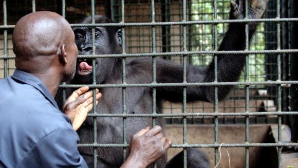 Cât de mult se aseamănă oamenii cu gorilele? Ce ne diferenţiază?
