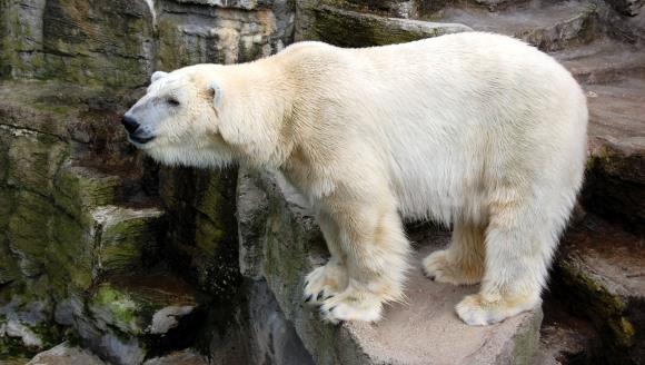 Încă o consecință dramatică a încălzirii globale: ce se întâmplă cu urșii polari