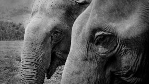 Un elefant orb își jelește sufletul pereche și nu lasă oamenii să îl îngroape  - Galerie foto + Video