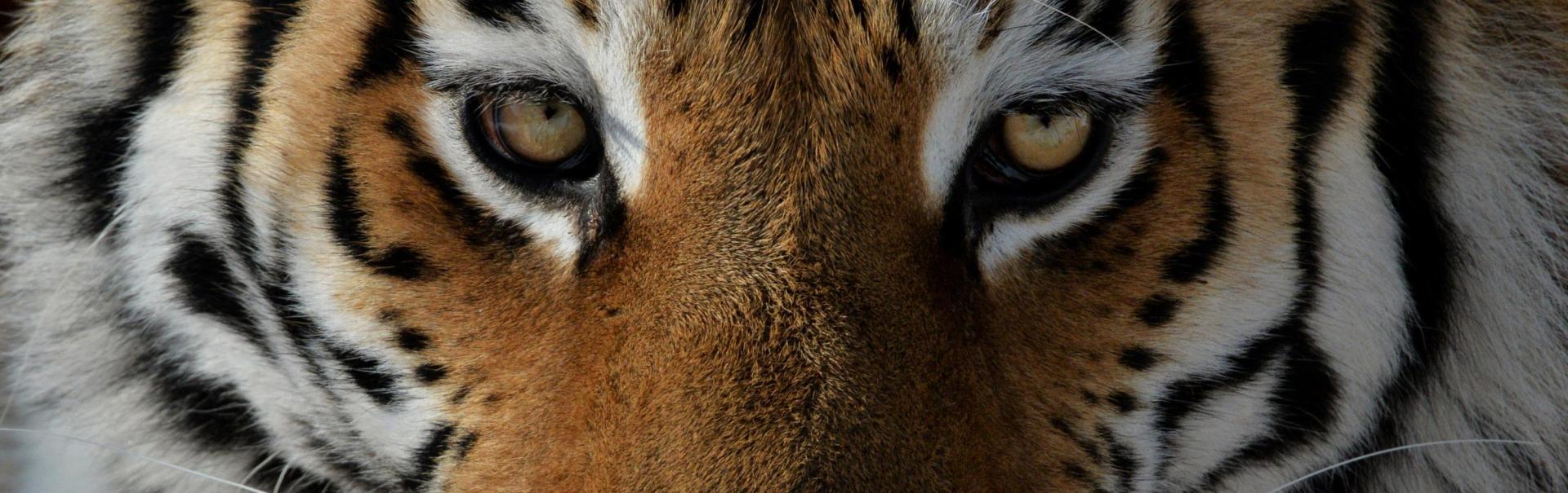 Să învățăm să trăim. Principiile de viață ale tigrilor ne pot asigura succesul în muncă și în viață