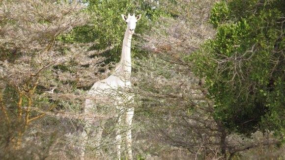 Apariție foarte rară: o girafă albă a fost surprinsă în Kenya - Galerie Foto
