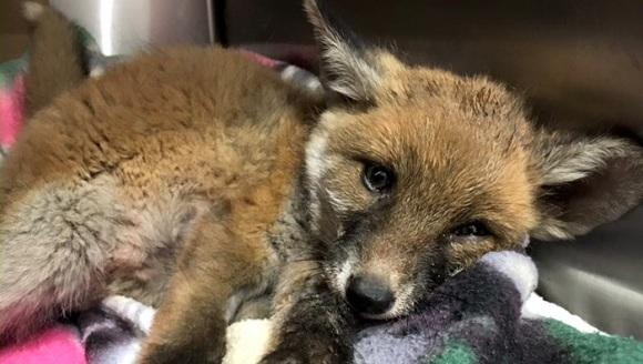 Un pui de vulpe găsit aproape mort a fost readus la viață. Incredibila transformare - Galerie Foto