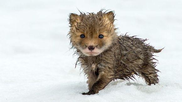 Cei mai drăgălași pui de vulpe din lume. Sunt prea adorabili ca să credem că sunt adevărați - Galerie Foto