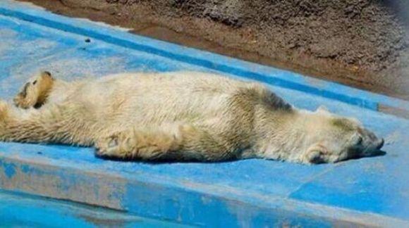 """""""Cel mai trist urs polar din lume"""" a murit. Trăia în condiții mizerabile, la 40 de grade, într-o cuşcă de asfalt"""