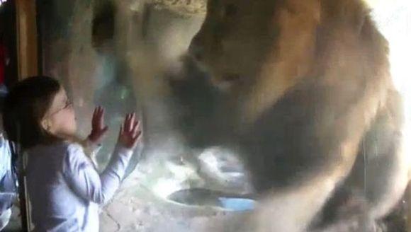 Reacția leului la sărutul fetiței ne demonstrează: animalele nu au ce căuta în captivitate