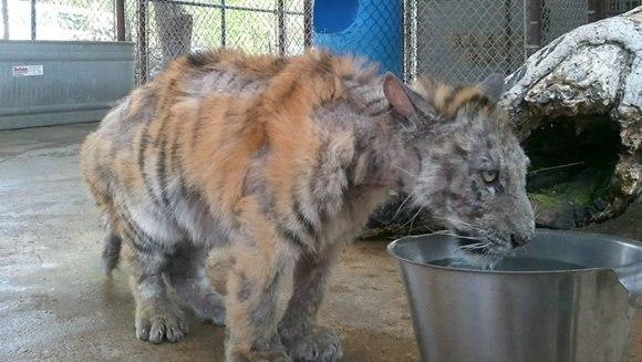 Tigru ce cântărea un sfert din greutatea normală, salvat de la circ. Cum s-a recuperat micuțul - Galerie Foto