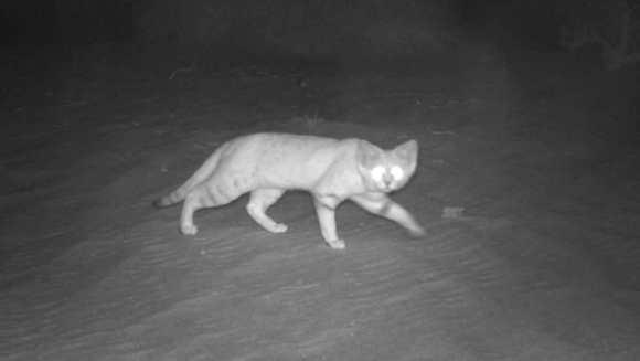 O pisică ce aparţine unei specii rare a fost fotografiată după 10 ani. Condițiile precare în care trăiește ea