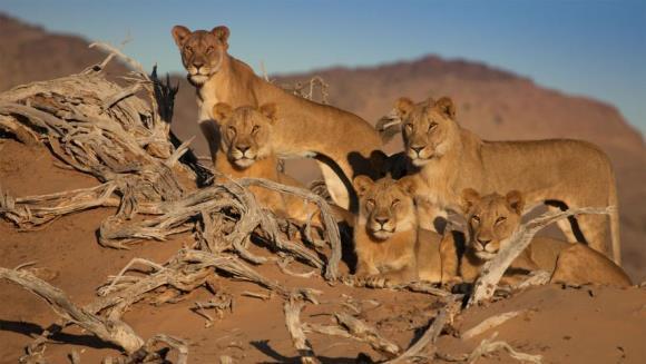 A murit cea mai cunoscută familie de lei din Namibia. Au fost otrăviţi