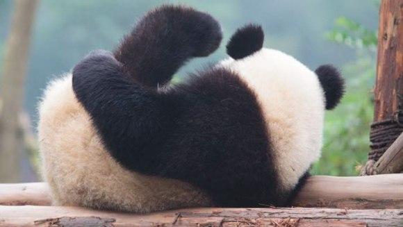 Vești bune: Ursul panda gigant nu mai este pe cale de dispariție
