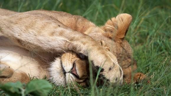 """Cinci female de leu au început """"să se transforme"""" în masculi: le creşte coamă şi adoptă un comportament tipic masculin"""