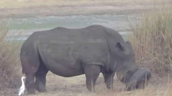 Un rinocer şi-a blocat capul într-o anvelopă de maşină. Cum a fost salvat - VIDEO
