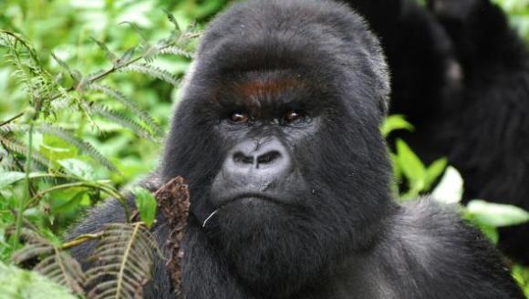 Cea mai faimoasă gorilă de munte a murit la vârsta de 38 de ani. Era cea mai longevivă membră a speciei