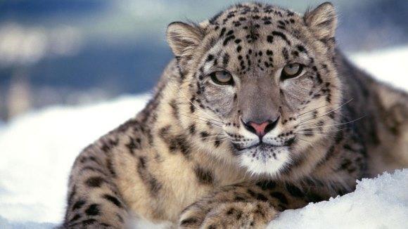 Cinci lucruri extraordinare despre leoparzii zăpezilor şi încă un adevăr pe care oamenii nu îl mai pot ignora