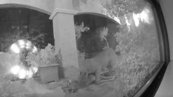 Întâlnirea înfricoşătoare dintre doi americani şi un leu de munte, în curtea casei lor – VDEO