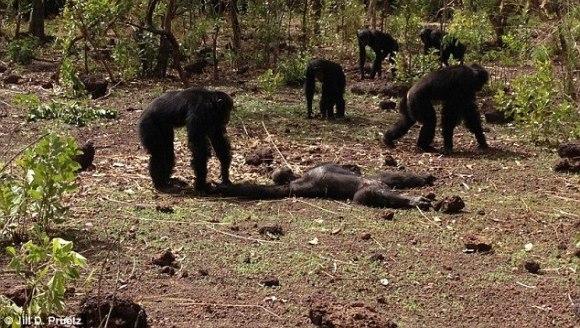 Scene terifiante filmate în lumea animală. Fostul lider al unui grup de cimpanzei a fost torturat şi mâncat când a încercat să-şi recapete poziţia - VIDEO terifiant