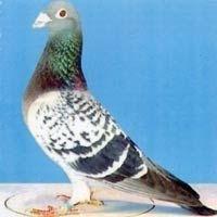 Boli frecvente le porumbei