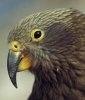 Papagalu Kea sau nestor notabilis