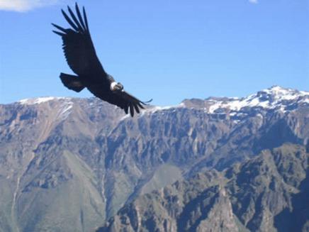 Condorul (Vultur gryphus)