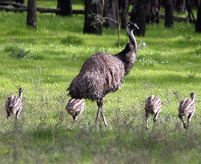 Pasarea EMU (Dromaius novaehollandiae)